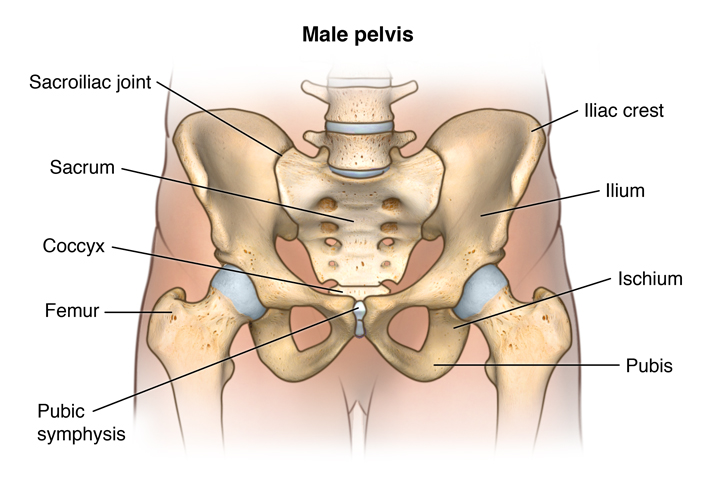 Anatomy Of The Male And Female Pelvis Comprehensive Orthopaedics